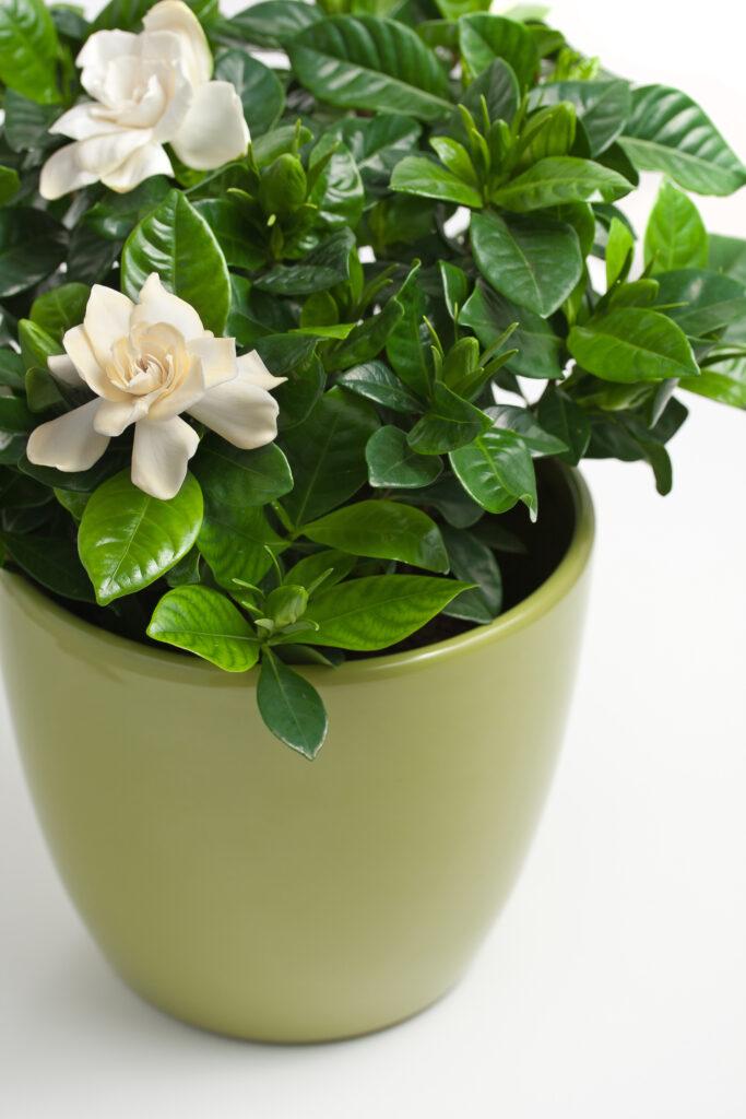 Gardenie